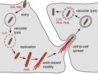 virulence factors of Listeria monocytogenes
