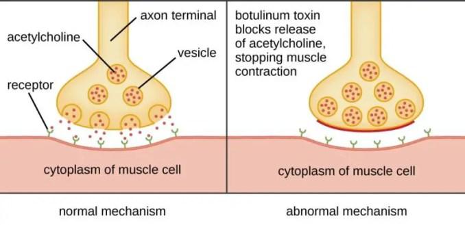 Mechanism of Botulinum toxin
