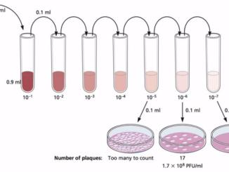 Bacteriophage plaque assay