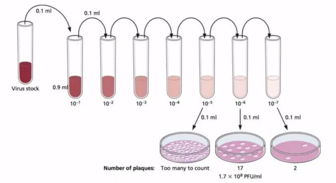 Bacteriophage Plaque Assay