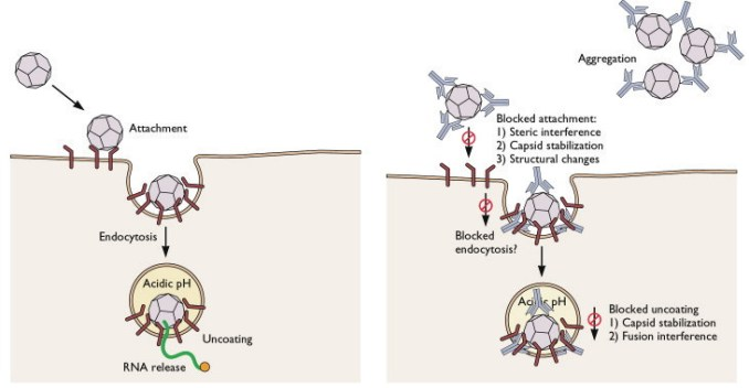 Neutralizing antibodies prevents viral infection