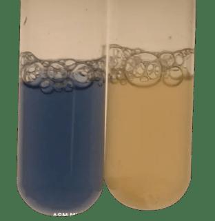Test tube method of oxidase test