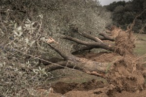 Olive trees cut down because of Xylella