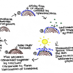 Picture Of Water Cycle Diagram Race Car Alternator Wiring Microbes In Stromatolites - Microbewiki