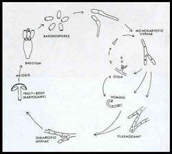fungus cell diagram labeled boat battery wiring basidiomycota - microbewiki