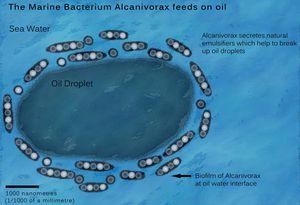 Diagram Of Eating Alcanivorax Borkumensis Microbewiki