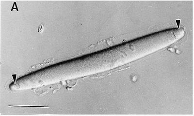 bacteria structure diagram flatworm anatomy epulopiscium - microbewiki