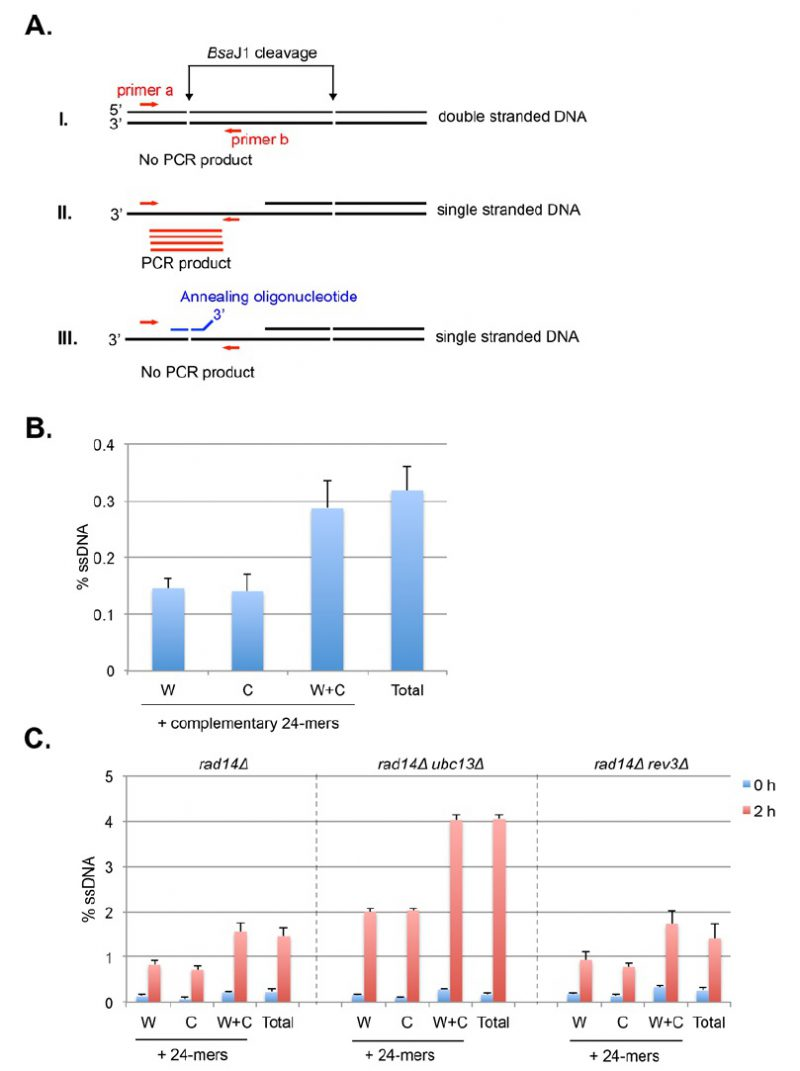 hight resolution of figure 11 schematic principles and determination of strand specific ssdna detection by restriction enzyme digestion and real time pcr