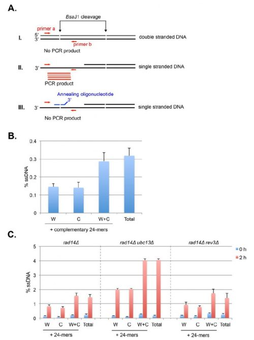 small resolution of figure 11 schematic principles and determination of strand specific ssdna detection by restriction enzyme digestion and real time pcr