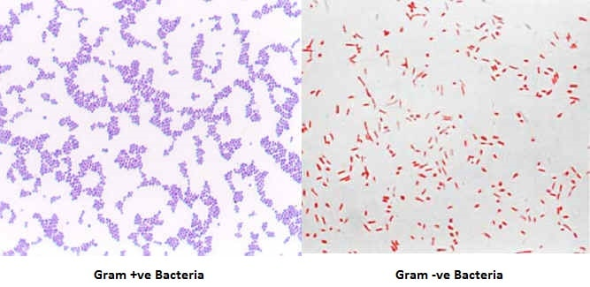 Bacilli Bacteria Under Microscope