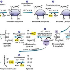 Stages Of Glycolysis And Fermentation Diagram 4 Way Flat Wiring Trailer Dynantefo 10 Steps Explained By With