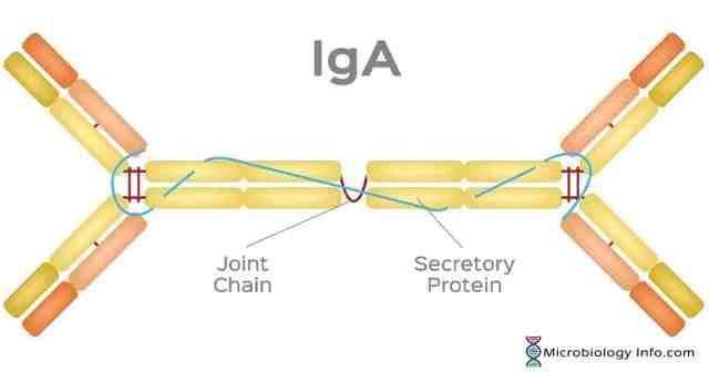 Immunoglobulin A (IgA) - Structure, Properties, Subclasses, Functions