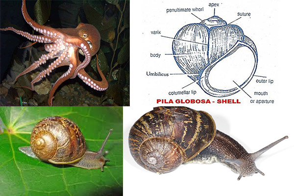 mollusca diagram labeled battlefield formations general characteristics of phylum molluscans
