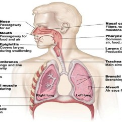 Diagram Of Ribs And Organs 1994 Honda Civic Exhaust System Respiration Respiratory
