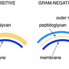 Gram Negative Cell Wall Diagram 1999 Subaru Impreza Outback Radio Wiring Microbelove  Page 2 Microbiologyprelim