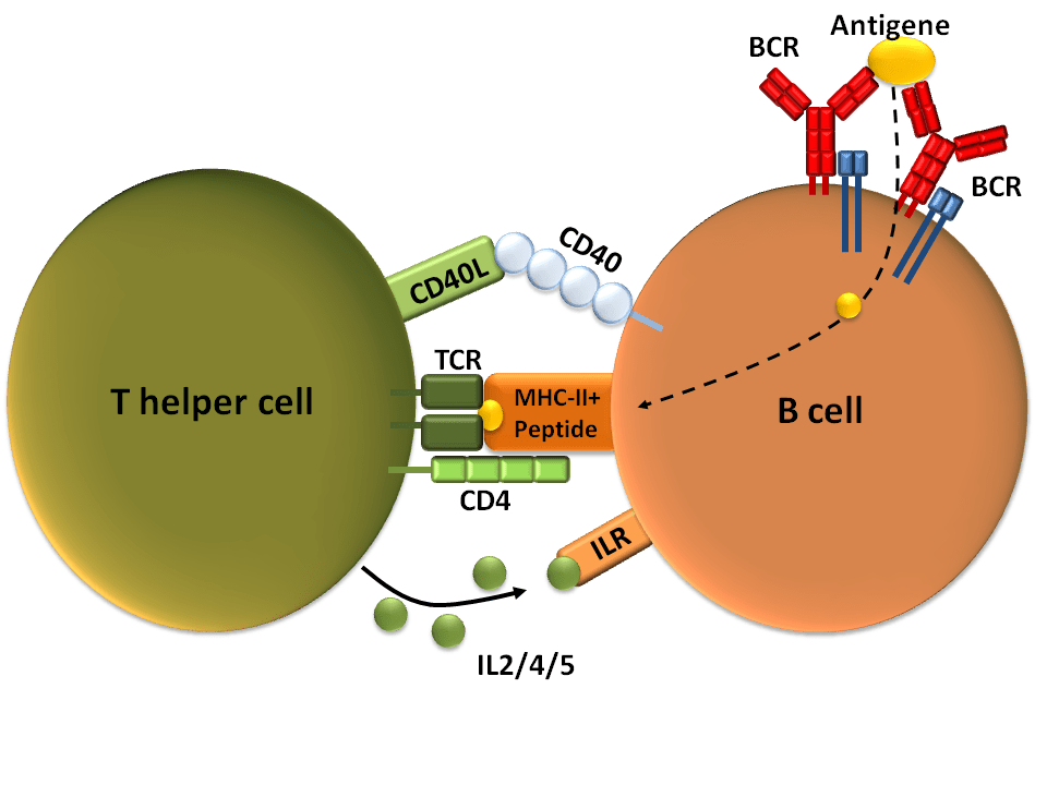Antibody-Dependent Cellular Cytotoxicity (ADCC): The Wrath of the Killer Cells