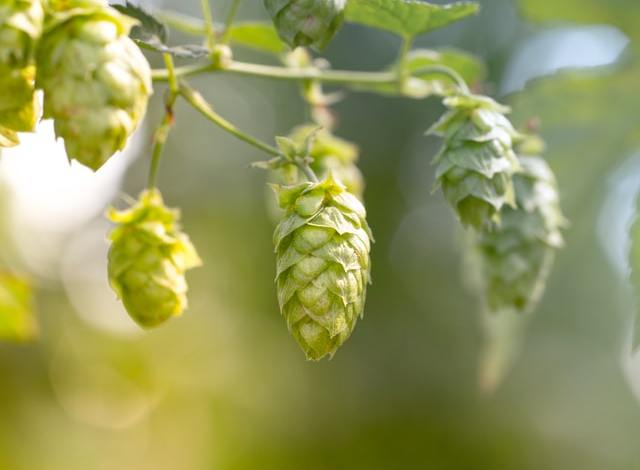 Photo of How to Grow Your Own Hops