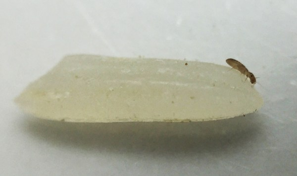 booklouse in a grain of rice