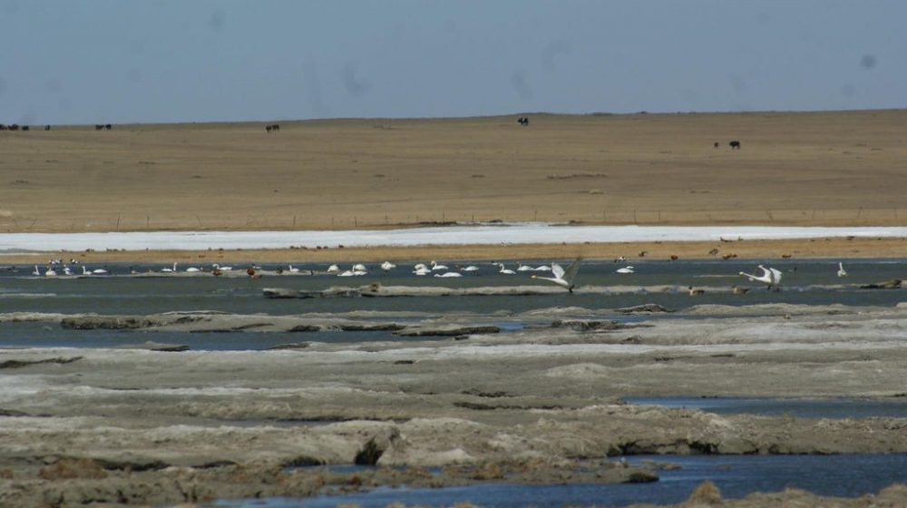 Swan migration two years ago