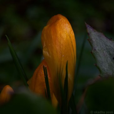 DSC_9744-yellow-crocus