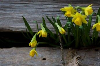 DSC_2394-daffodils