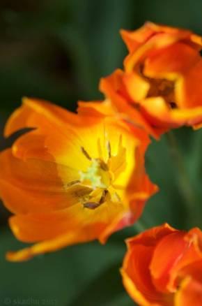 close up of tulip