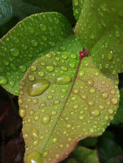 dew or raindrops on leaves