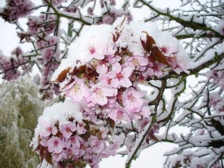 Snow_on_Cherry_Blossom_-Colin-Smith