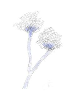 Sporing bodies of Aspergillus. Drawing based on an original provided by Deanna Sutton at doctor fungus