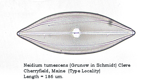 Fossil Freshwater Diatoms From Cherryfield, Maine