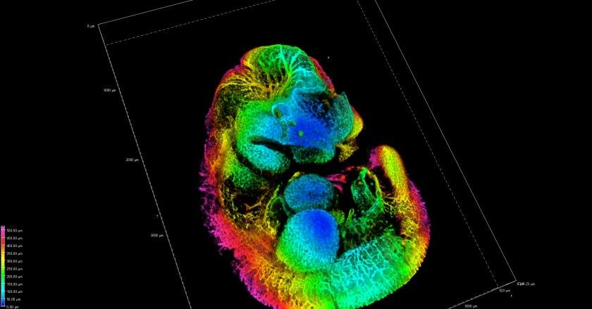 Thibault Bouderlique - Blood vessel mouse embryo