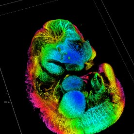 Thibault Bouderlique - Blood vessel mouse embryo