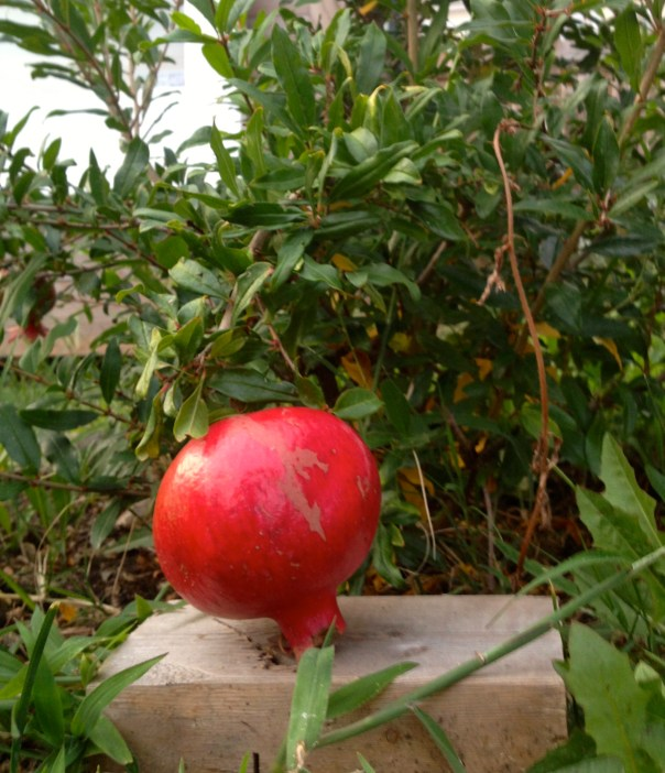 First pomegranate (sadly, plant died in the harsh winter of 2014)