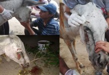 torture of a donkey by suspected political workers