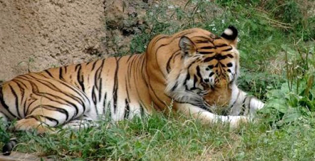 In Rajasthan, tourist, guide fined Rs 51,000 for throwing stones at the tiger