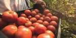 Madhya Pradesh Farmer in Jabalpur village axes another farmer to death after he was caught stealing tomatoes.