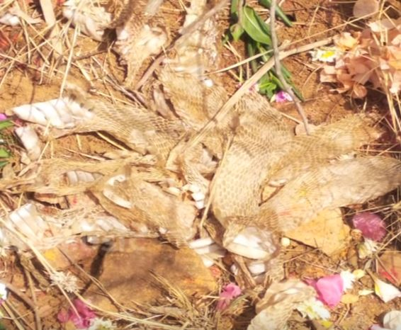 Seven headed snake's skin founded in ramanagara district Karnataka locals worshiping rationalists suspects