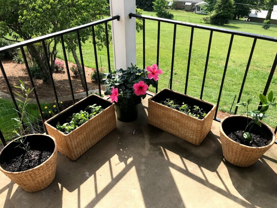 Deck basil cilantro