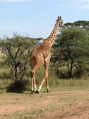 giraffe, tanzania