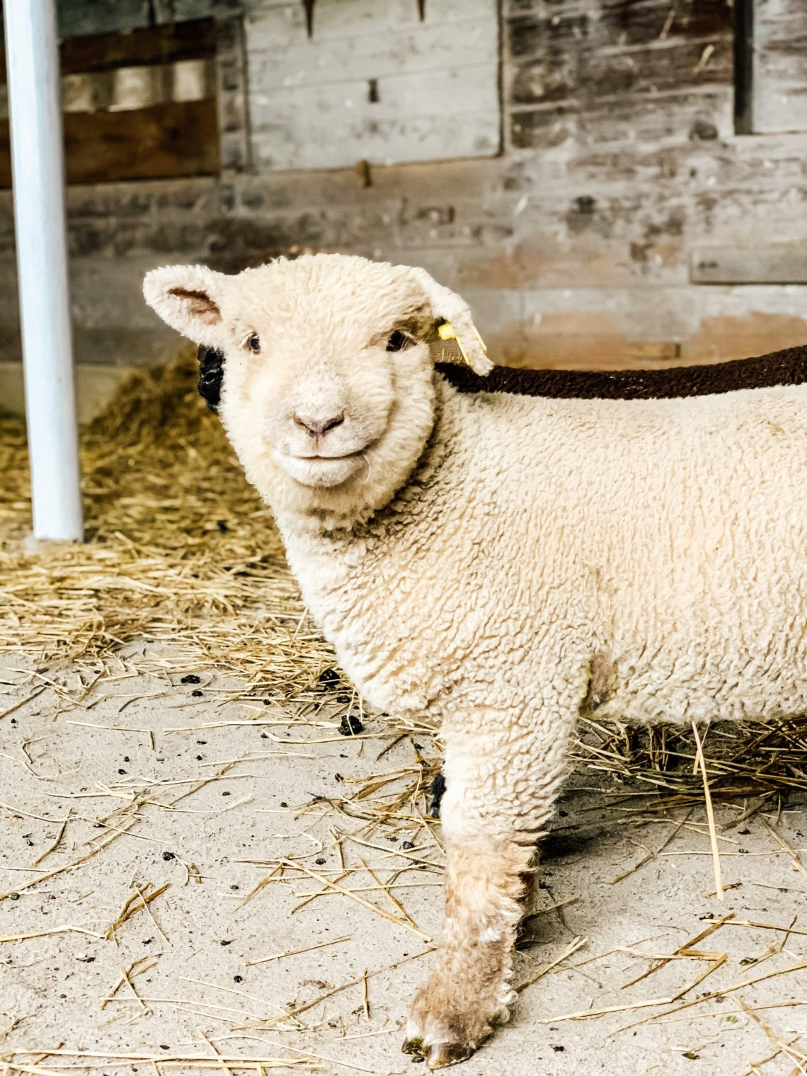 About Our Southdown Babydoll Sheep