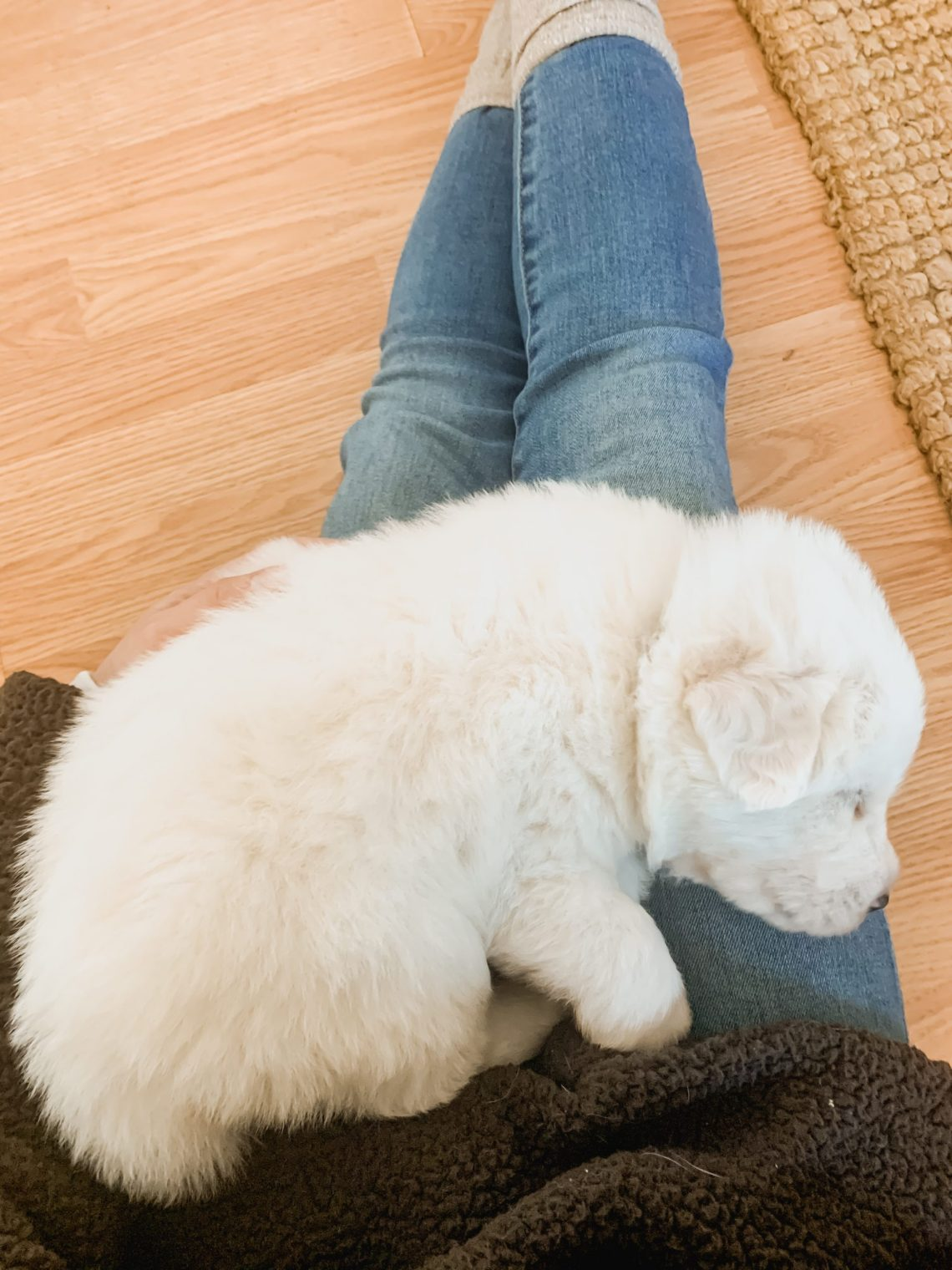 Meet Our Great Pyrenees LGD Puppy!