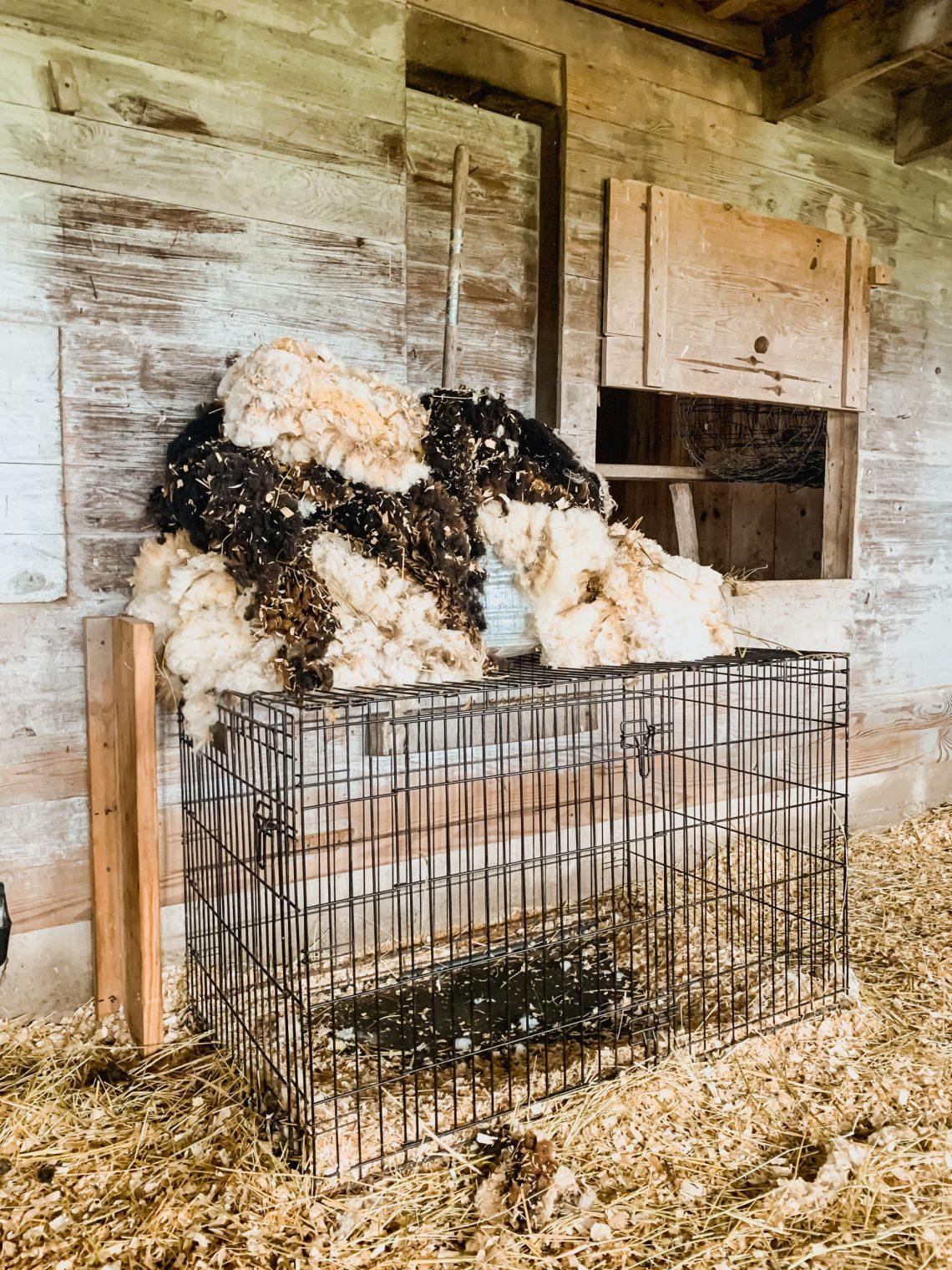 Our Babydoll Sheep Got Sheared