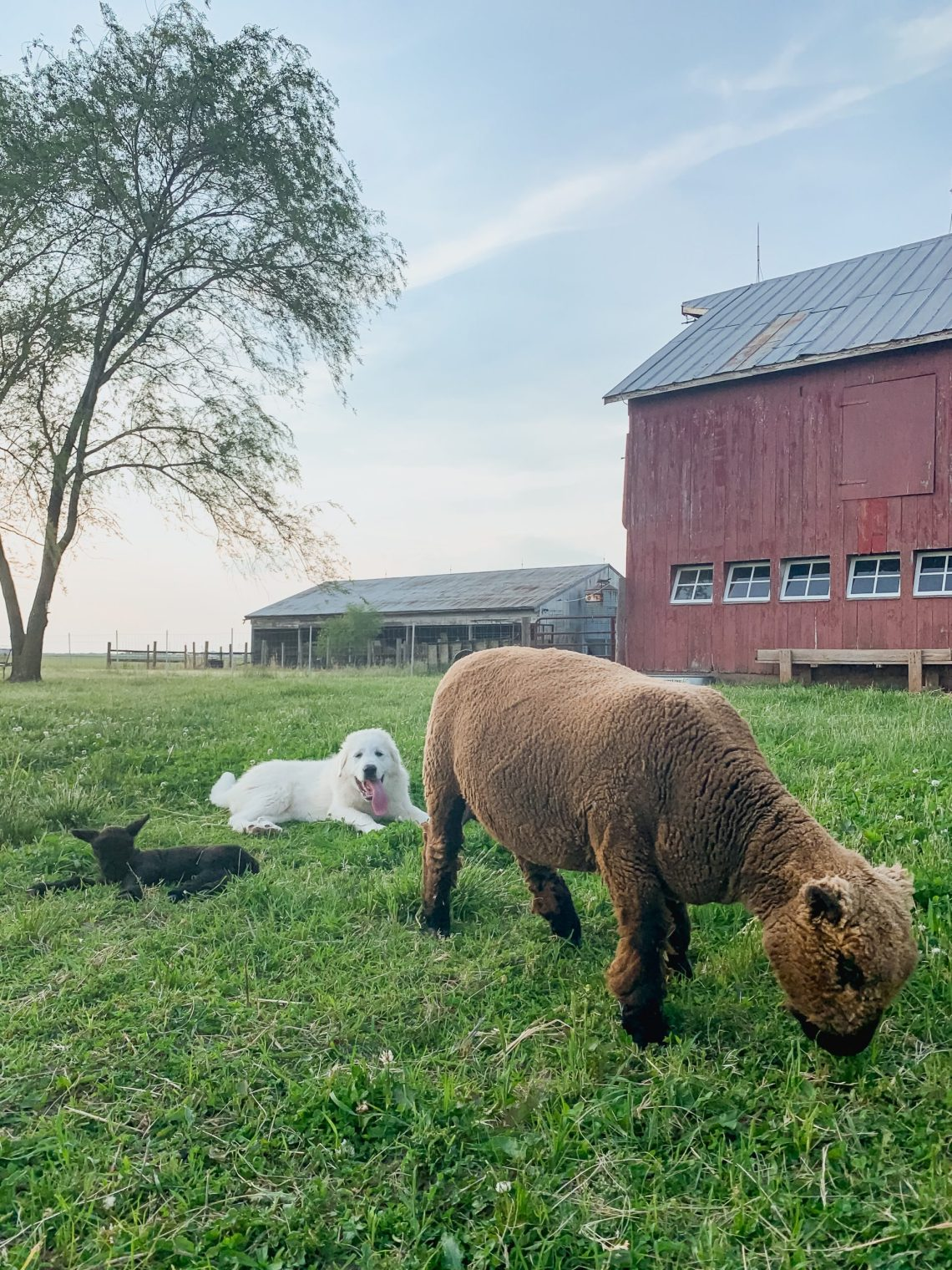 The First Lamb was Born on Midcounty Farm!
