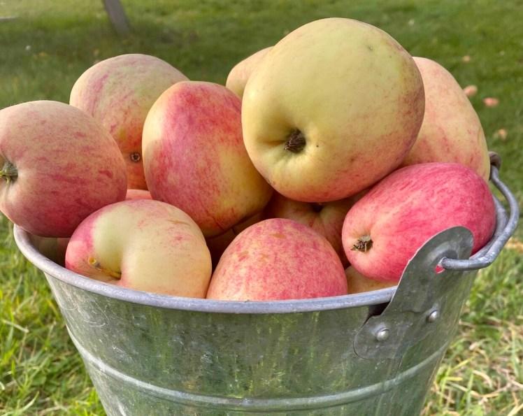 Äppelgelé calvadosgelé åkeröäpplen recept