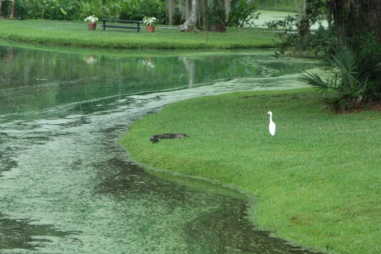 Our first 'gator sighting!