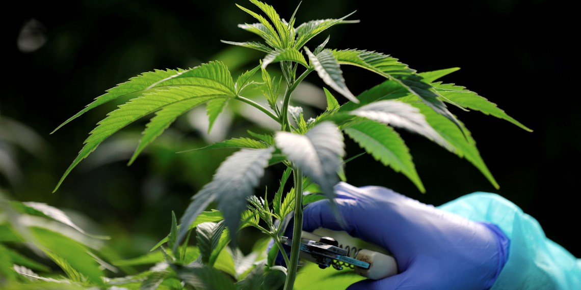FILE PHOTO: An employee tends to a medical cannabis plants at Pharmocann, an Israeli medical cannabis company in northern Israel January 24, 2019. REUTERS/Amir Cohen