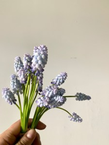 blue muscari grown by floralora