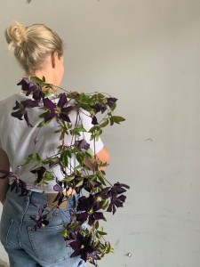 clematis grown by sweet gale garden