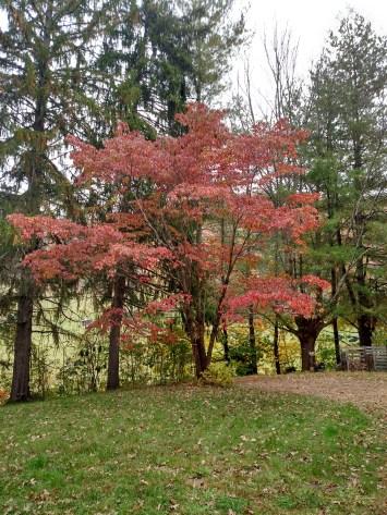 Oct 2015 - fall color dogwood