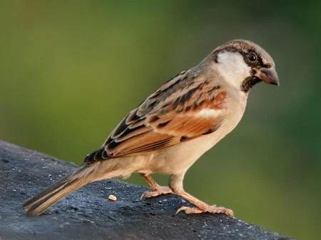 passarinho - O passarinho ladrão